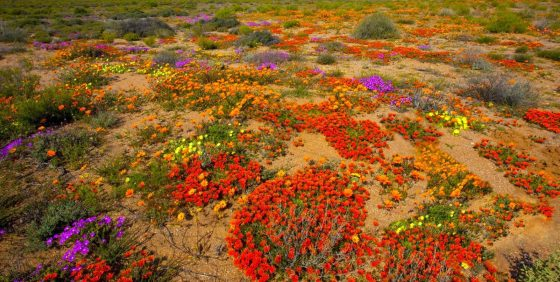 namaqualand wild flower tours (2)